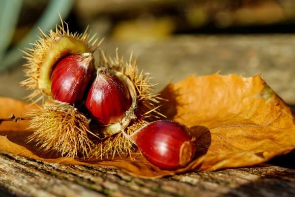 chestnut-1784282